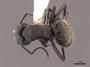 62975 Camponotus mus D IN