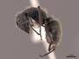 62975 Camponotus mus P IN