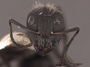62975 Camponotus mus H IN