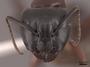 127638 Camponotus novaeboracensis H IN