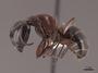 127638 Camponotus novaeboracensis P IN