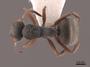 45819 Camponotus mucronatus D IN