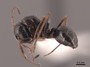 45923 Camponotus piceus P IN