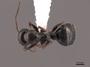 45923 Camponotus piceus D IN