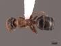 45926 Camponotus pylartes fraxinicola D IN