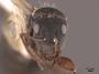 62973 Camponotus rusticus H IN