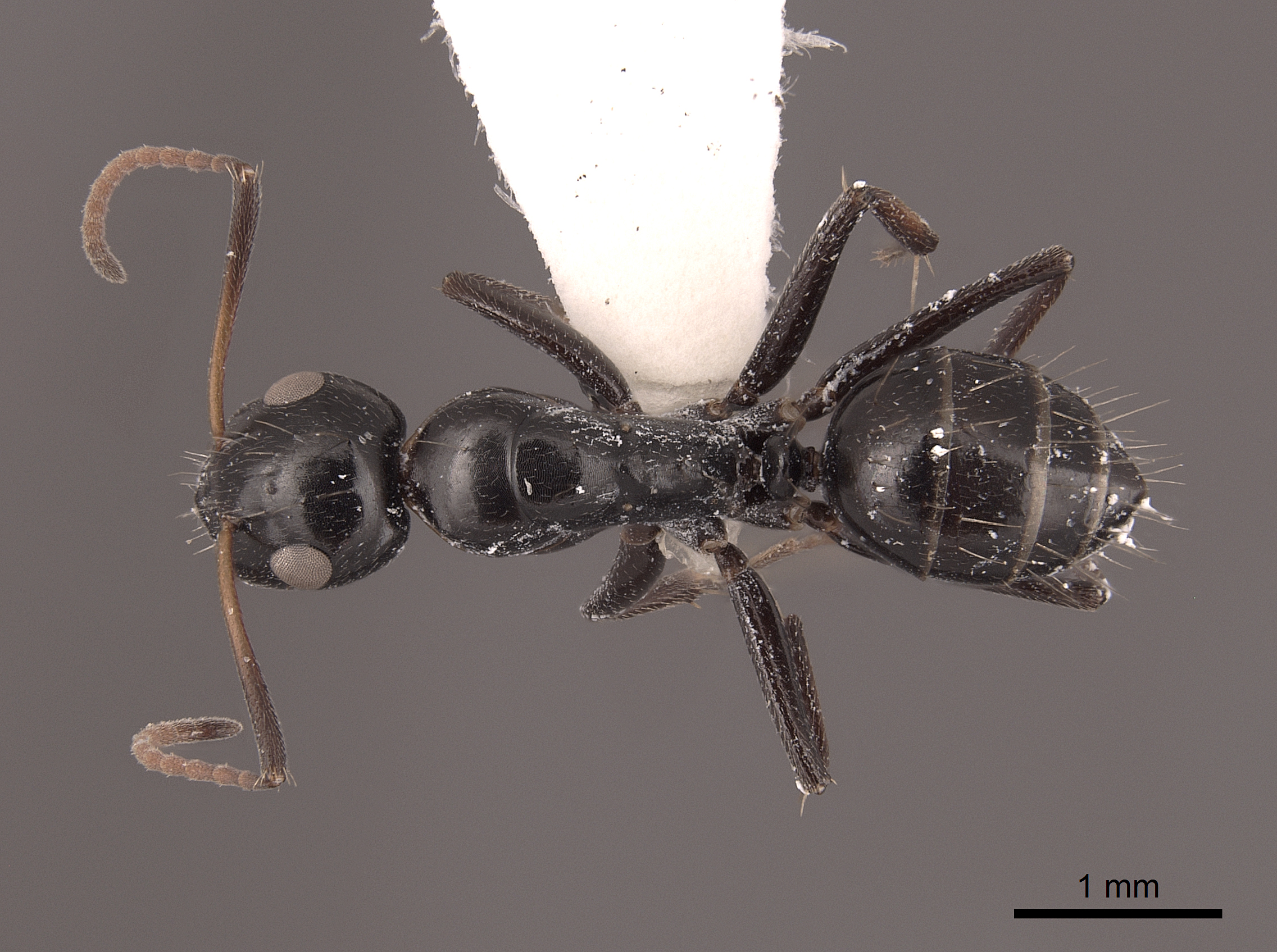 Image of Camponotus reticulatus