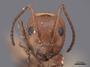 45934 Camponotus sayi H IN