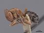 45934 Camponotus sayi P IN