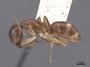 62298 Camponotus semitestaceus P IN