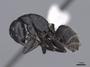 45946 Camponotus vagus P IN