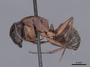 45948 Camponotus vicinus P IN