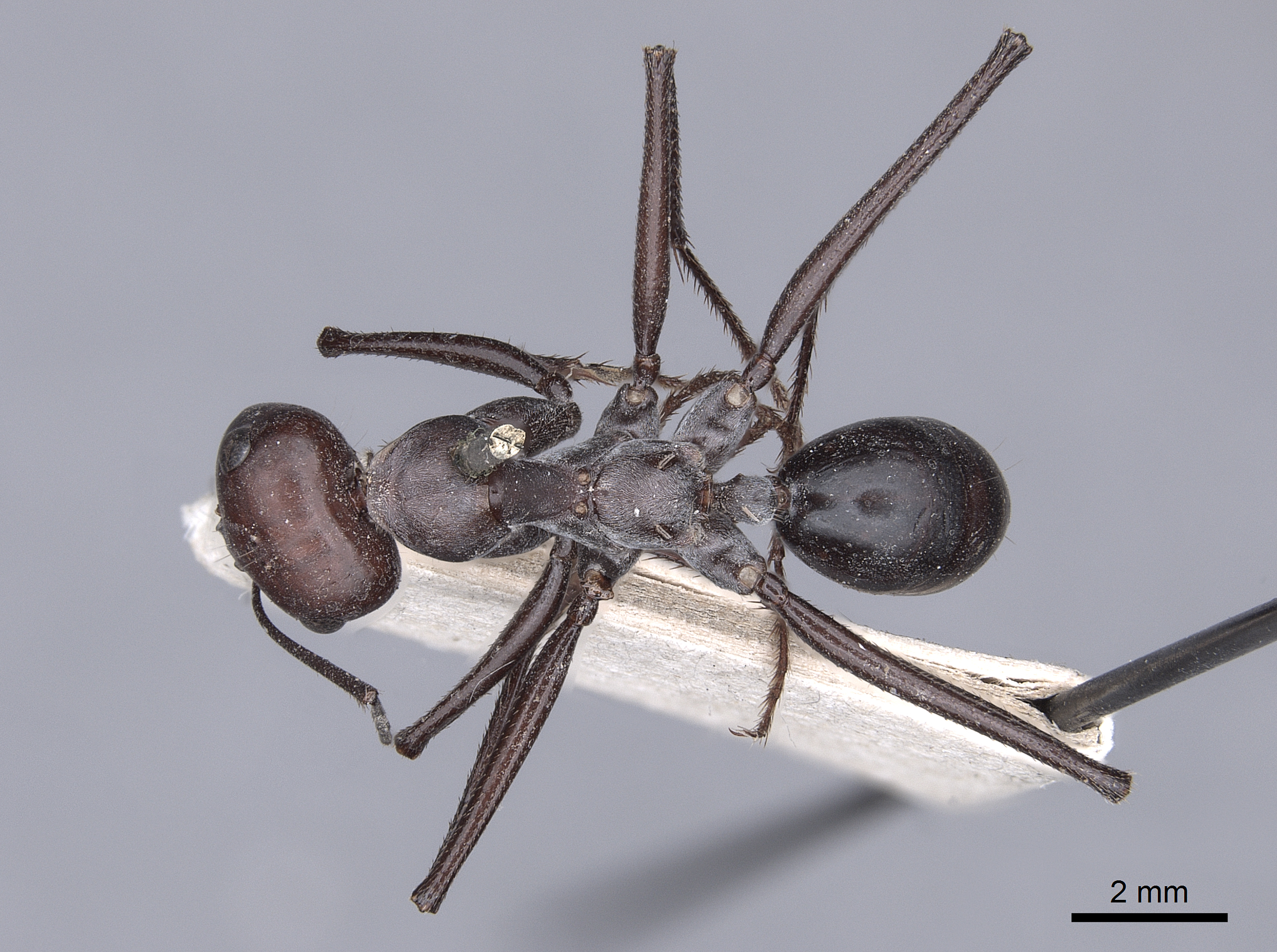 Image of Cataglyphis bicolor
