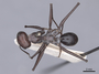 46224 Cataglyphis bicolor D IN