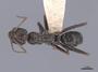 46227 Cataglyphis cursor D IN