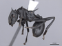 47364 Cephalotes atratus P IN