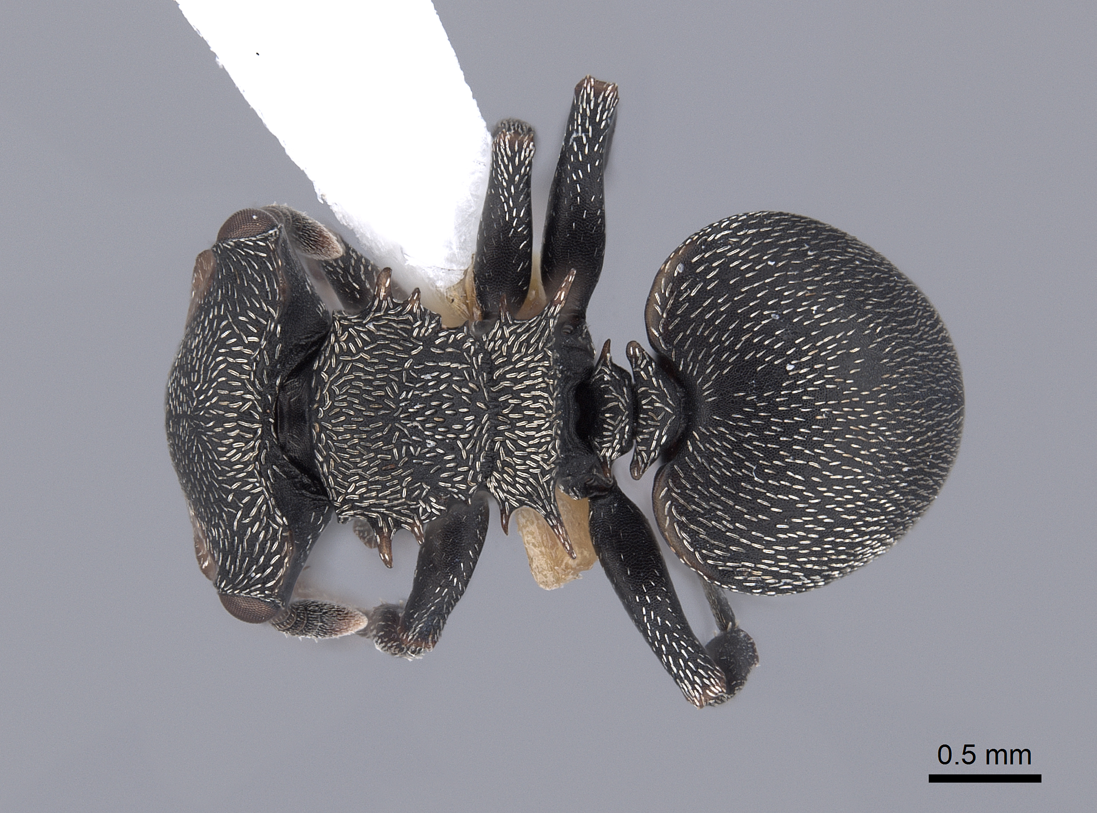 Image of Cephalotes christopherseni