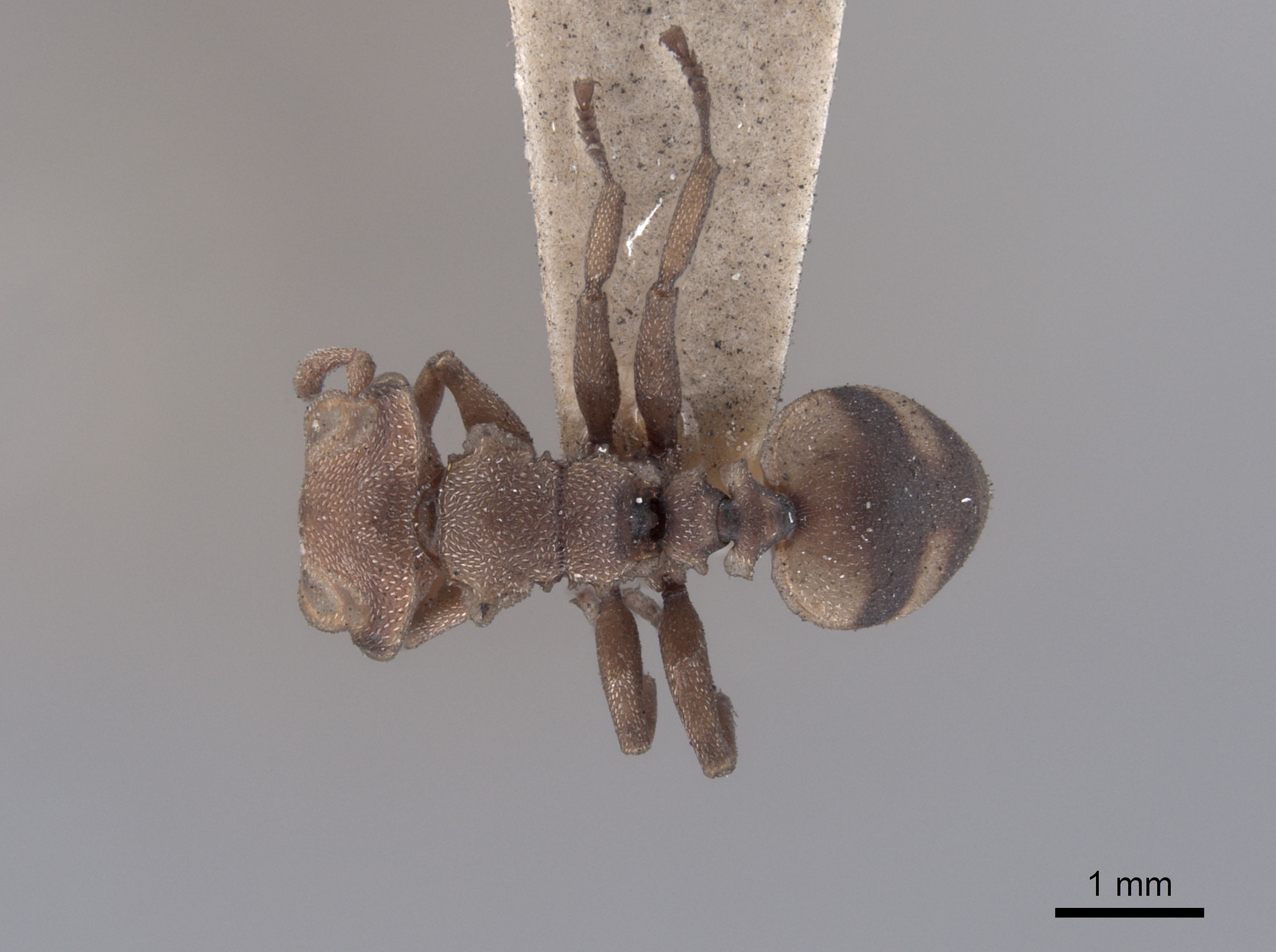 Image of Cephalotes umbraculatus