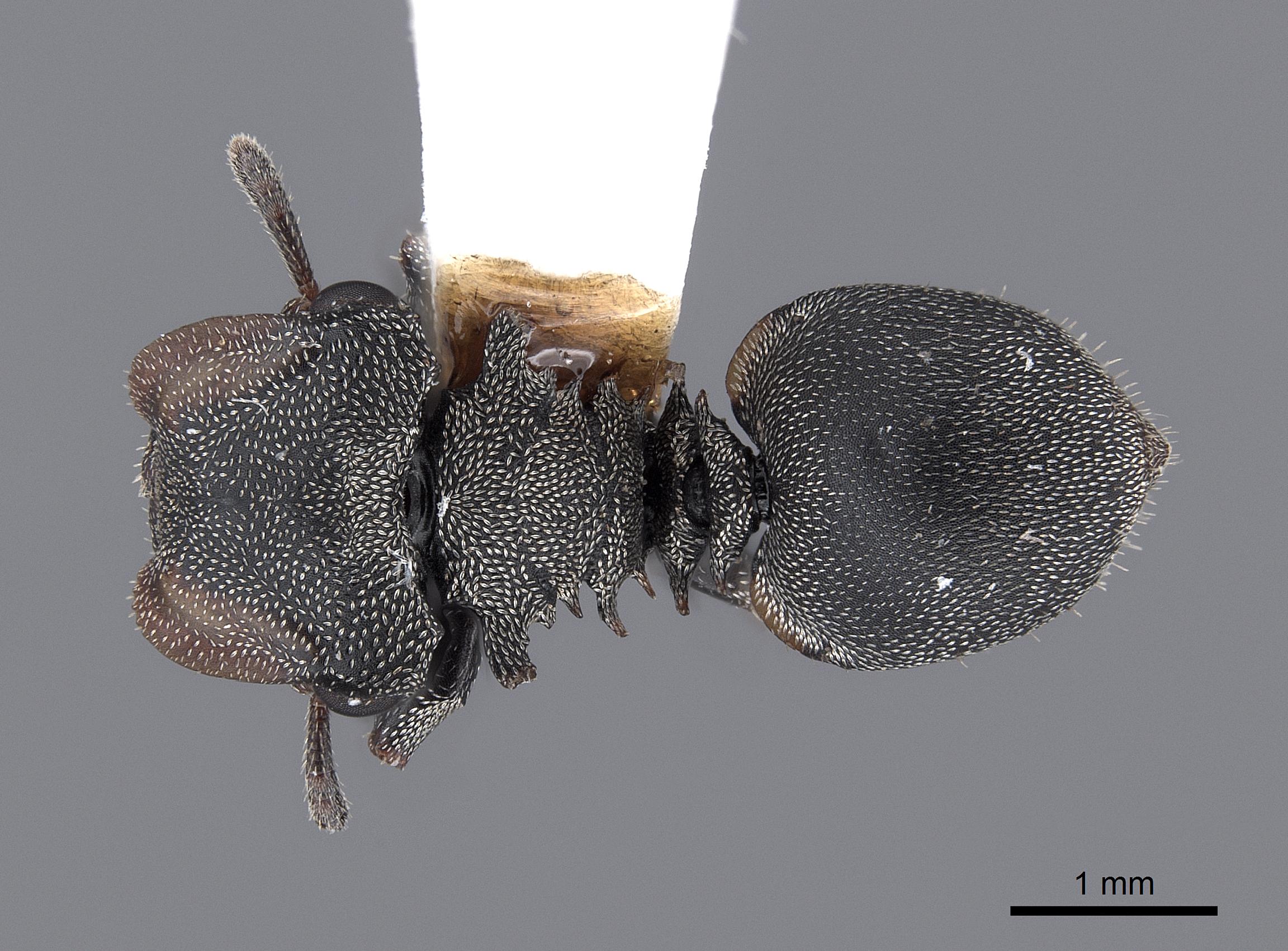 Image of Cephalotes cristatus