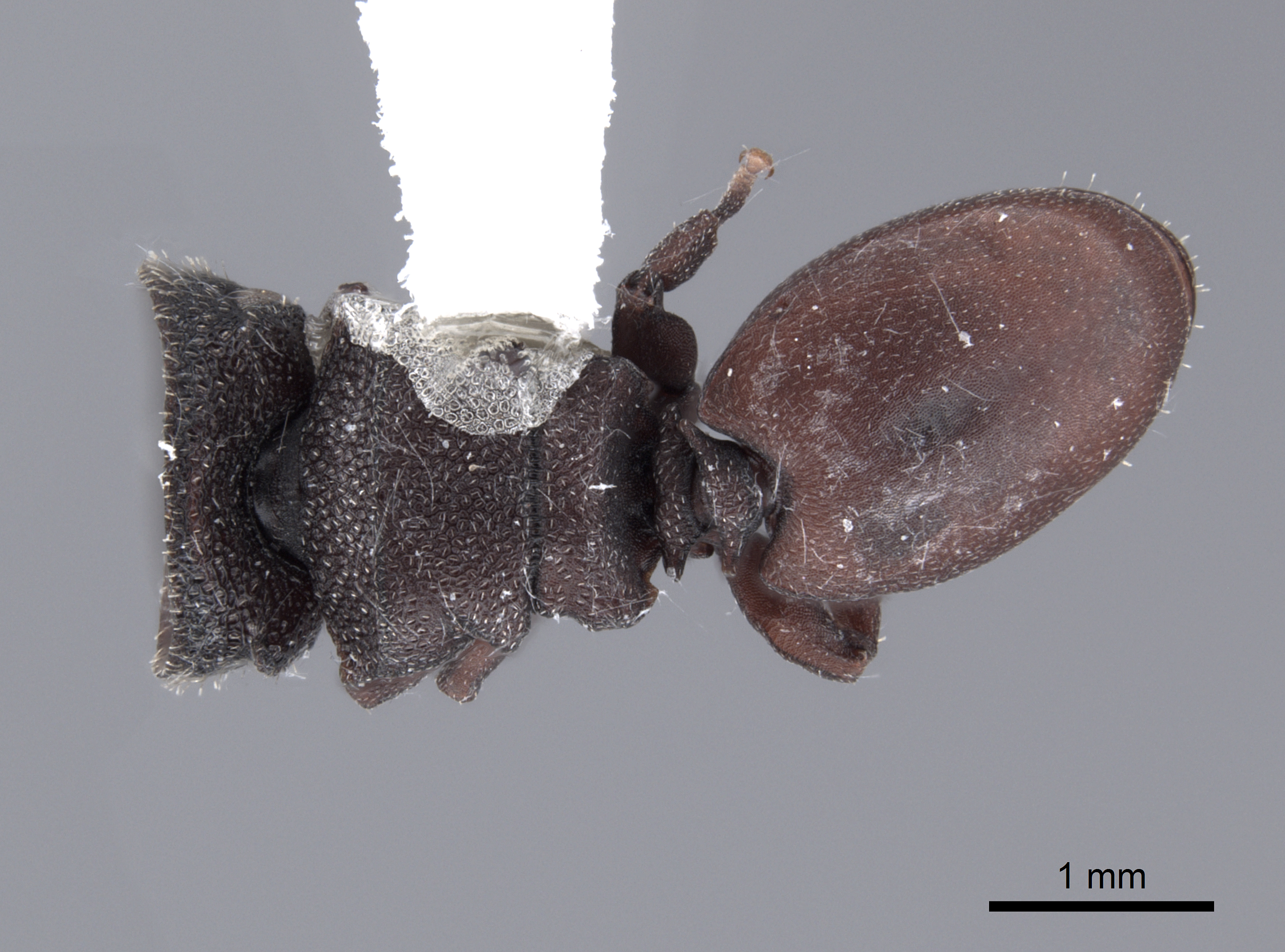 Image of Cephalotes pallens
