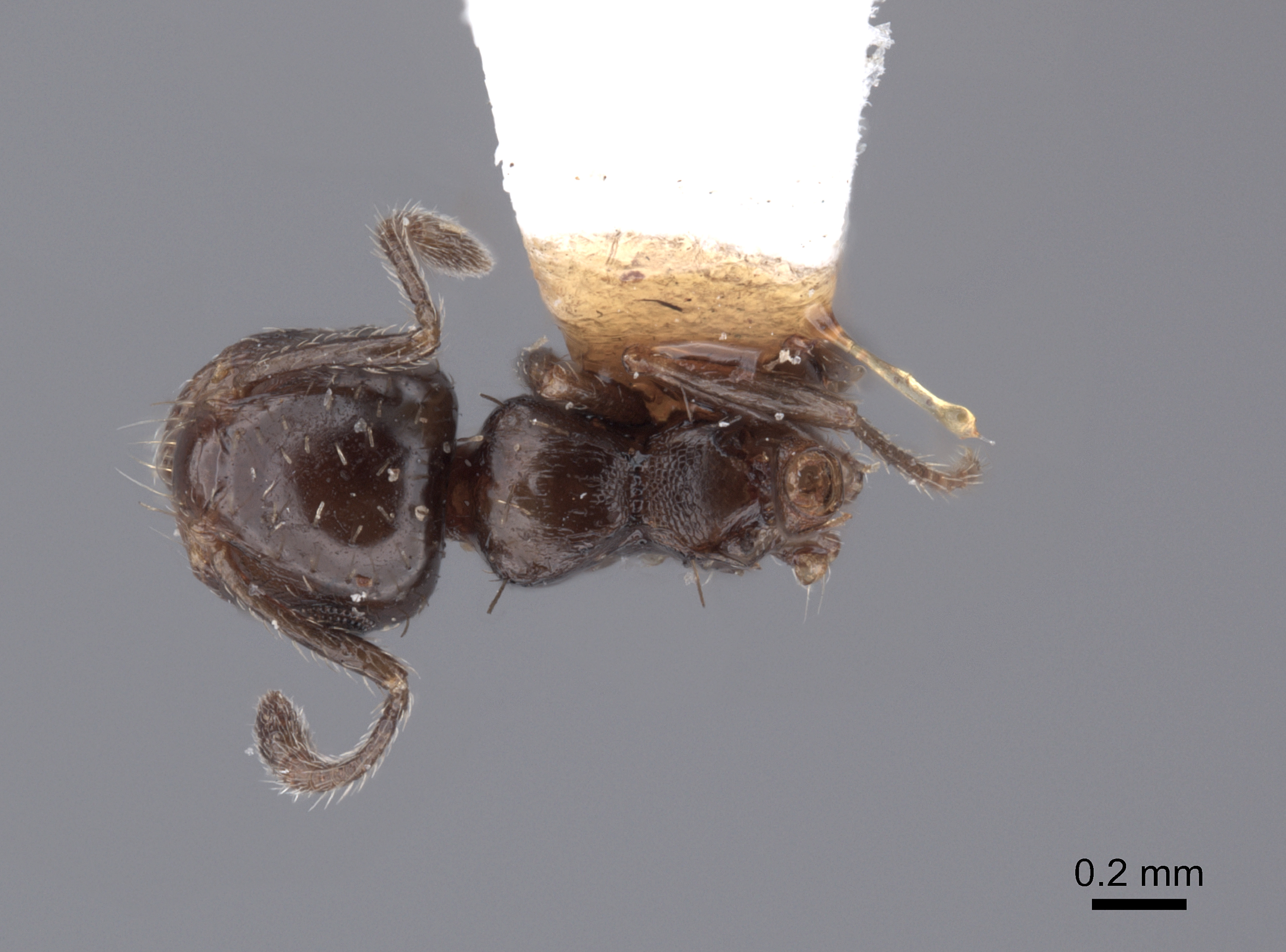 Image of Crematogaster abstinens