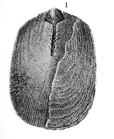 Species: Pseudolingula iowensis (Owen, 1894)