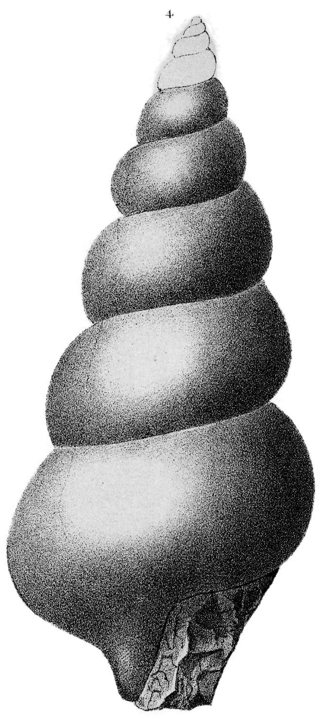 Species: Hormotoma trentonensis Ulrich & Scofield, 1897
