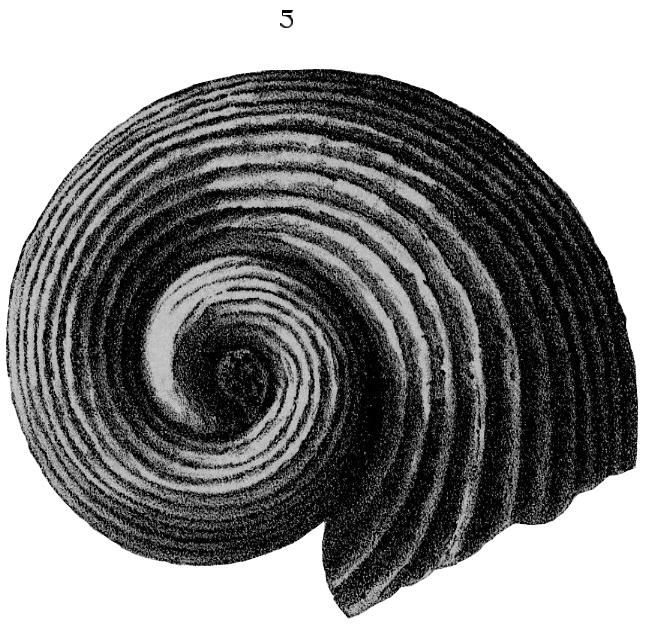 Genus: Euomphalus