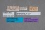 19357 Omalium arenarium ST labels IN