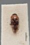 2819434 Conurus maculosus ST d IN