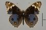 124364 Junonia orithyia madagascariensis d IN