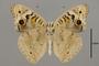 124364 Junonia orithyia madagascariensis v IN