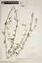 Sida angustifolia Lam., VENEZUELA, F