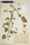 Sida cordifolia L., ARGENTINA, F