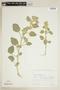 Sida cordifolia L., BOLIVIA, F