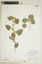 Sida cordifolia L., PERU, F