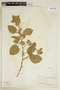 Sida cordifolia L., BRAZIL, F