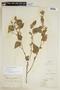 Sida cordifolia L., GUYANA, F