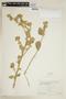 Sida cordifolia L., ECUADOR, F