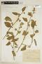 Sida cordifolia L., PARAGUAY, F