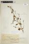 Sida glutinosa Comm. ex Cav., COLOMBIA, F