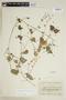 Sida javensis subsp. expilosa Borss. Waalk., ECUADOR, F