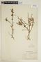 Sida linearifolia A. St.-Hil., BRAZIL, F