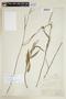 Sida linifolia Juss. ex Cav., FRENCH GUIANA, F