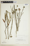 Sida linifolia Juss. ex Cav., BOLIVIA, F