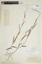 Sida linifolia Juss. ex Cav., COLOMBIA, F