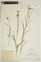 Sida linifolia Juss. ex Cav., PERU, F
