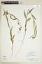 Sida linifolia Juss. ex Cav., PARAGUAY, F