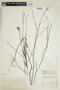 Sida linifolia Juss. ex Cav., BRAZIL, F