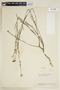 Sida linifolia Juss. ex Cav., VENEZUELA, F